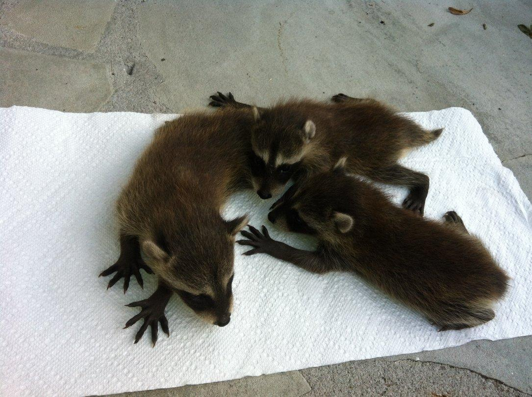 what do raccoon babies look like