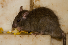 pictures of rabid rats